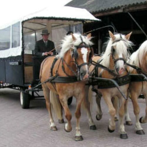 Paardentram met Haflingers